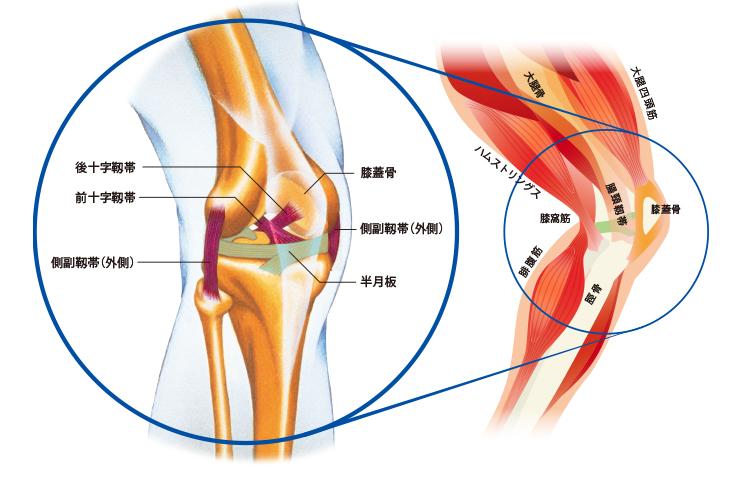Diagrama de estructura de la rodilla