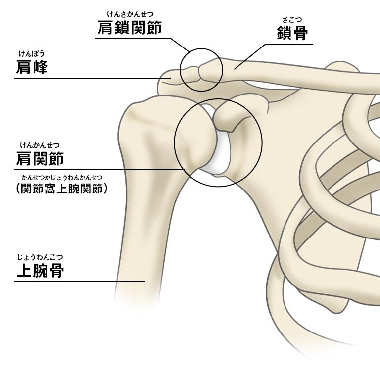 肩 甲骨 可動 域
